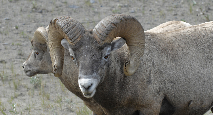 Big-Horn-Sheep-0115