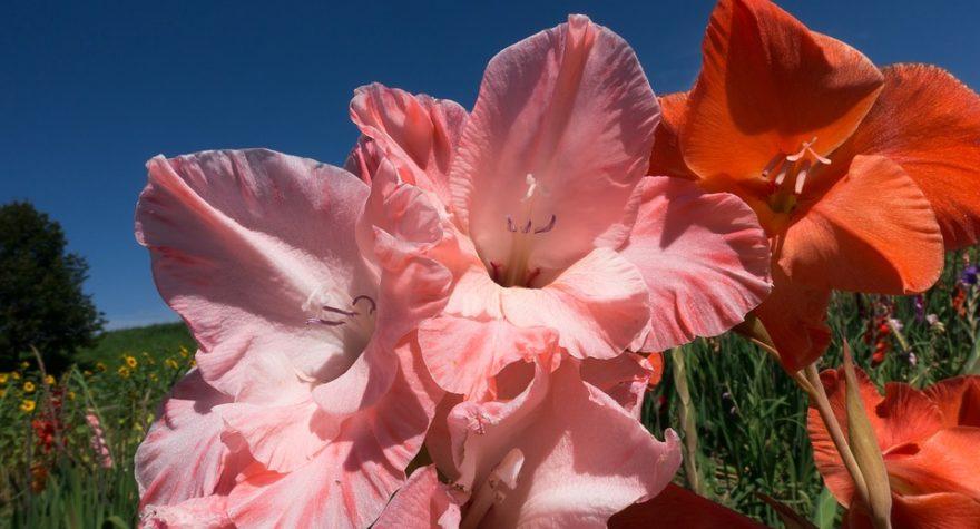 flores-geminis